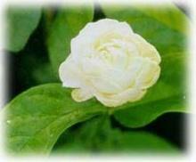 ดอกมะลิ ดอกไม้ วันแม่