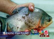 สยองปลากัดจู๋โผล่ทะเลสาบมะกัน