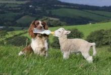 น่ารัก! แม่หมาคาบขวดนมให้ลูกแกะกิน