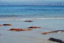 ปลาหมึกเกยตื้นชายหาดสหรัฐกว่า 100 ตัว