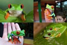 กบต้นไม้ตาแดง (Red-eyed Tree Frog) กบสีสวยน่ารัก
