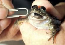 นักวิทย์ออสซี่เตรียมฟื้นคืนชีพกบออกลูกทางปาก หลังสูญพันธุ์เกือบ 30 ปี