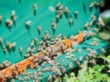 โครเอเชียฝึก ผึ้ง ให้ค้นหา กับระเบิด