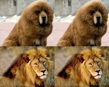 โวยสวนสัตว์จีนปลอมงงๆ เอาสุนัขขนปุยมาปลอมเป็นสิงโต