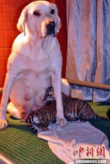 น่ารัก แม่หมาลาบราดอร์เป็นแม่นมให้ลูกแแฝดเสือโคร่ง