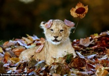 สุดยอดภาพน่ารักลูกสิงโตเล่นกองใบไม้