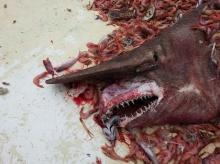 ฉลามปิศาจ ปลาฉลามน้ำลึกหายาก