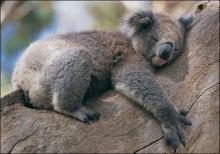นักวิทย์พบสาเหตุ-ทำไมโคอาลาจึงชอบเกาะต้นไม้