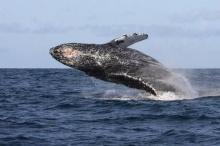อึ้ง! อ้วกปลาวาฬ ราคาแพง วัตถุดิบหายาก