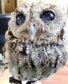 ตะลึง! นี่คือนกฮูก ตาบอด ที่ตาสวยที่สุด