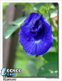 ดอกไม้สีน้ำเงิน...