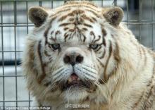 เสือที่ขี้เหร่ที่สุดในโลก เห็นแบบนี้จะกลัวดีมั้ย!?