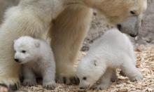 หมีขาวขั้วโลก ล่าเหยื่อได้น้อยลง เพราะแผ่นน้ำแข็งละลายเร็วขึ้น