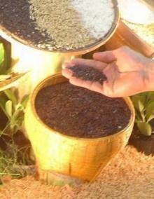 จาก ข้าวกล่ำ ไร้คนสนใจสู่ ไรซ์เบอรี่  ธัญพืชต้านอนุมูลอิสระ
