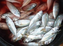 กิน ปลาทู สู้โรคหัวใจ - บำรุงสมอง