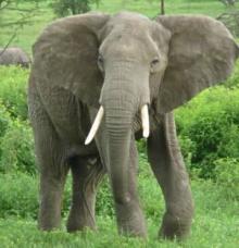 เชื่อหรือไม่ 'ขาช้าง' ทำงานแบบรถสี่ล้อ