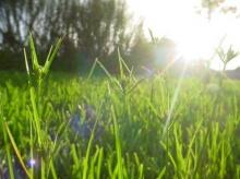 ต้นข้าวกับต้นหญ้า