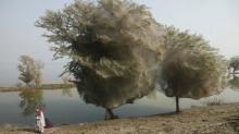 ตะลึง! ต้นไม้แมงมุมในปากีสถาน