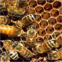 อัศจรรย์แห่งน้ำผึ้ง
