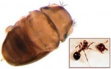 พบแมลงวันเล็กที่สุดในโลกที่ไทย