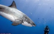 ฮือฮา ช่างภาพพิสูจน์ให้โลกเห็นฉลามขาวใครว่าอันตราย
