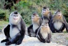 ไม่ใช่แค่คน ลิงก็มี หมอตำแย