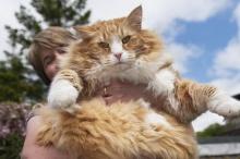 อุลริก แมวอ้วนที่สุดในอังกฤษเตรียมลดน้ำหนัก