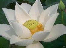 'บัว' ดอกไม้พุทธบูชา มากความหมายสื่อหลักธรรม