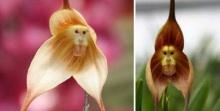 ตะลึง!! พบดอกกล้วยไม้ประหลาดออกดอกเป็นหน้าลิง