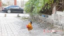 จีนสุดล้ำ!! ใช้ ไก่เป็นๆ ในการจองที่จอดรถยนต์