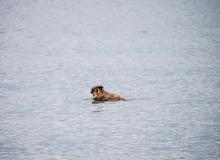 เดี๋ยวนะ! นกฮูกนี่ว่ายน้ำได้ด้วยเหรออ !?