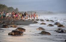 สุดทึ่ง!! ฝูงเต่ากว่าพันตัวขึ้นมาวางไข่บนหาดที่คอสตาริกา(ชมคลิป)