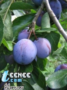 มหัศจรรย์ผักผลไม้ 7 ชนิดพิชิตความชรา