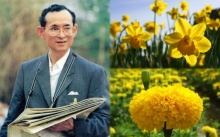 ความหมายอันลึกซึ้งที่ซ่อนอยู่ใน ดารารัตน์ดอกไม้แห่งความรัก และดาวเรืองดอกไม้ประจำพระองค์ ร.๙
