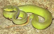 รู้ไว้..เมื่อโดน งูเขียวหางไหม้กัด