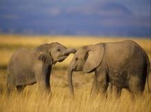 ขี้ช้างขายดี อินเดียทำยากันยุงถูกที่สุด