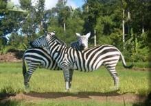 ภาพปริศนา :third zebra ?