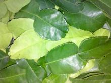 เคล็ดลับน่ารู้ ใบมะกรูด มหัศจรรย์กำจัดแมลงในข้าวสาร