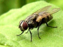 แมลงวันถูขาทำไม