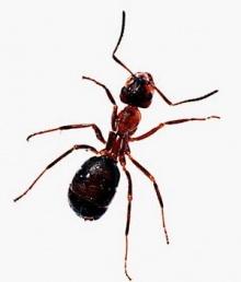 เชื่อ หรือ ไม่ เกี่ยวกับมด ( Fact about ant )