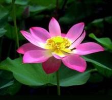 ความเชื่อ : บัว : ดอกไม้มงคล กับสารพันความหมาย