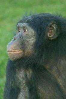 แข่งขันเฟ้นหาลิงฉลาดที่สุดในโลก