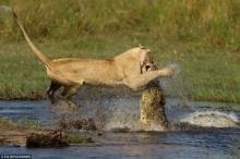 แม่สิงโตฟัดกับจระเข้ปากอาบเลือดเพื่อช่วยให้ลูกน้อยข้ามฝั่งอย่างปลอดภัย