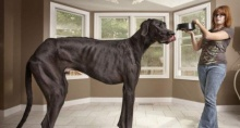 """ตะลึง """"เจ้าเซอุส"""" หมาสูงที่สุดในโลก2.2 เมตร"""
