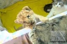 ลูกเสี้ยวผสมสิงโตกับเสือที่รัสเซีย