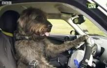 สอนน้องหมาขับรถ กระตุ้นให้คนรับสุนัขจรจัดไปเลี้ยง
