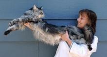 """""""สตีวี""""แมวที่มีความยาวที่สุดของโลกตายแล้ว"""