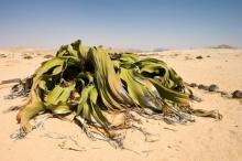 มารู้จัก ต้น ปีศาจทะเลทราย กันเถอะ