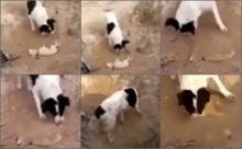 สะเทือนอารมณ์!! หมาใหญ่หัวใจมนุษย์ช่วยฝังศพหมาตัวเล็ก