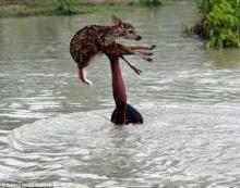 หนุ่มน้อยบังคลาเทศ น้ำใจงาม เสี่ยงชีวิตช่วยลูกกวางน้อยจมน้ำ